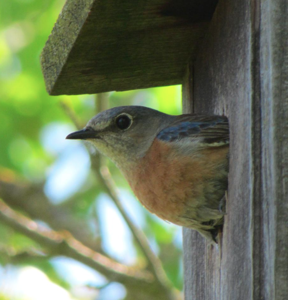 Image of bird poking its head out of a bird box.