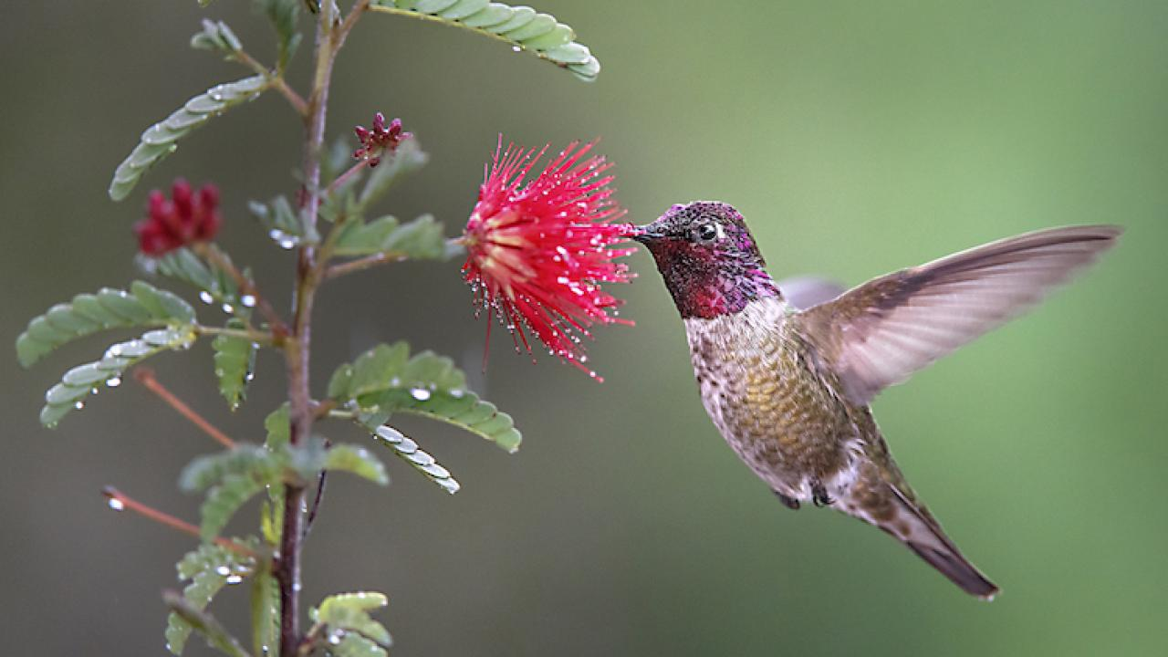 Image of hummingbird drinking from a blossom.