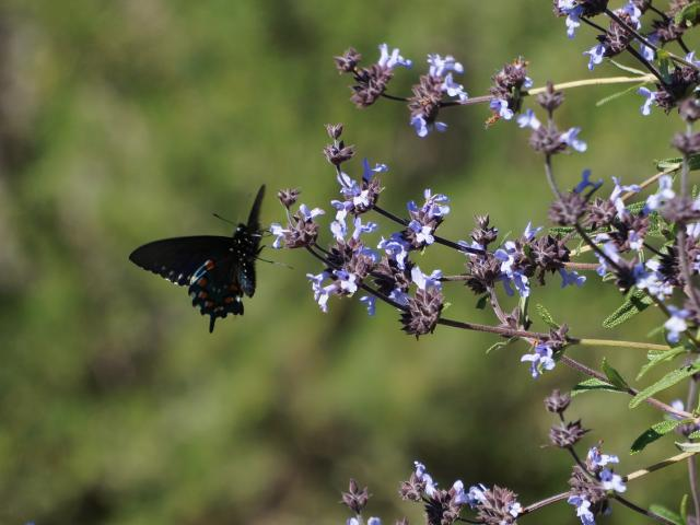 Image of pipevine swallowtail butterfly on Salvia clevelandii in the UC Davis Arboretum.