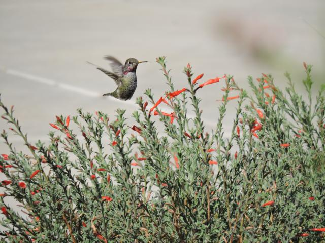 Hummingbird drinking nectar from California fuchsia in the UC Davis Arboretum's Hummingbird GATEway Garden.